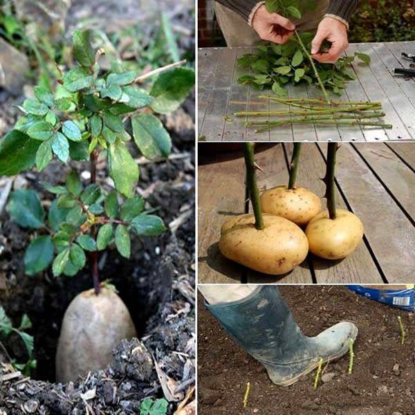 Como cultivar como fazer mudas de rosas gardens for Como cultivar bonsais