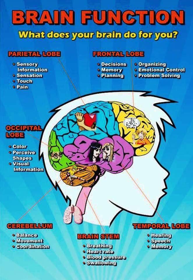 Brain Function | Brain lobes, functions, Brain lobes ...