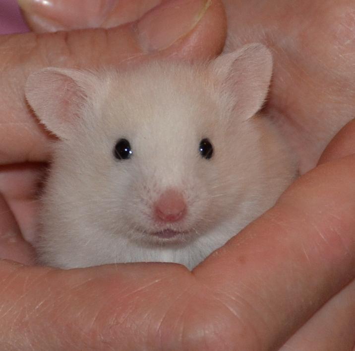 Adopt Meringue On Petfinder Syrian Hamster Hamster Species Hamster