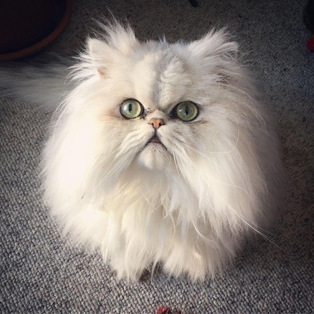 Persian Catpersian Cat Whitepersian Cat Doll Facepersian Cat