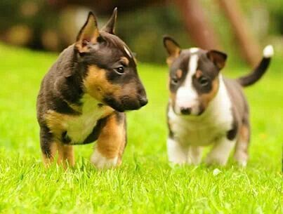 Tricolor Bull Terrier Pups Bull Terrier Puppy Mini Bull Terriers Mini Bull Terrier Puppies