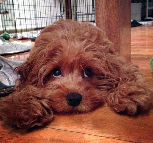 Cinnamon Cavoodle Via Myoodle Com Sydney Myoodle Calendar Dog Models Oodle Cavoodle Dog Cavapoo Puppies Cavapoo Puppies