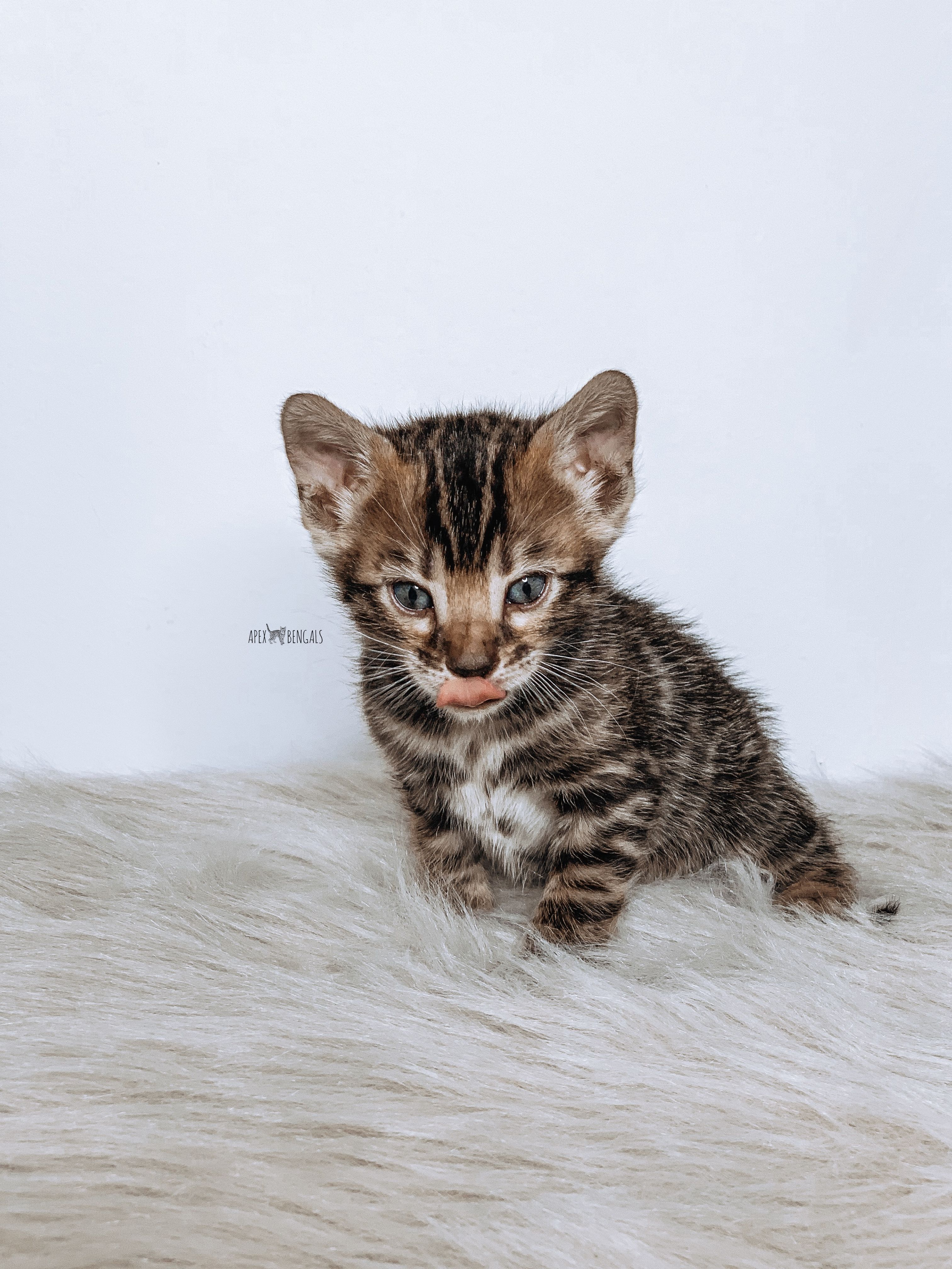 The cutest brown Bengal from ApexBengals