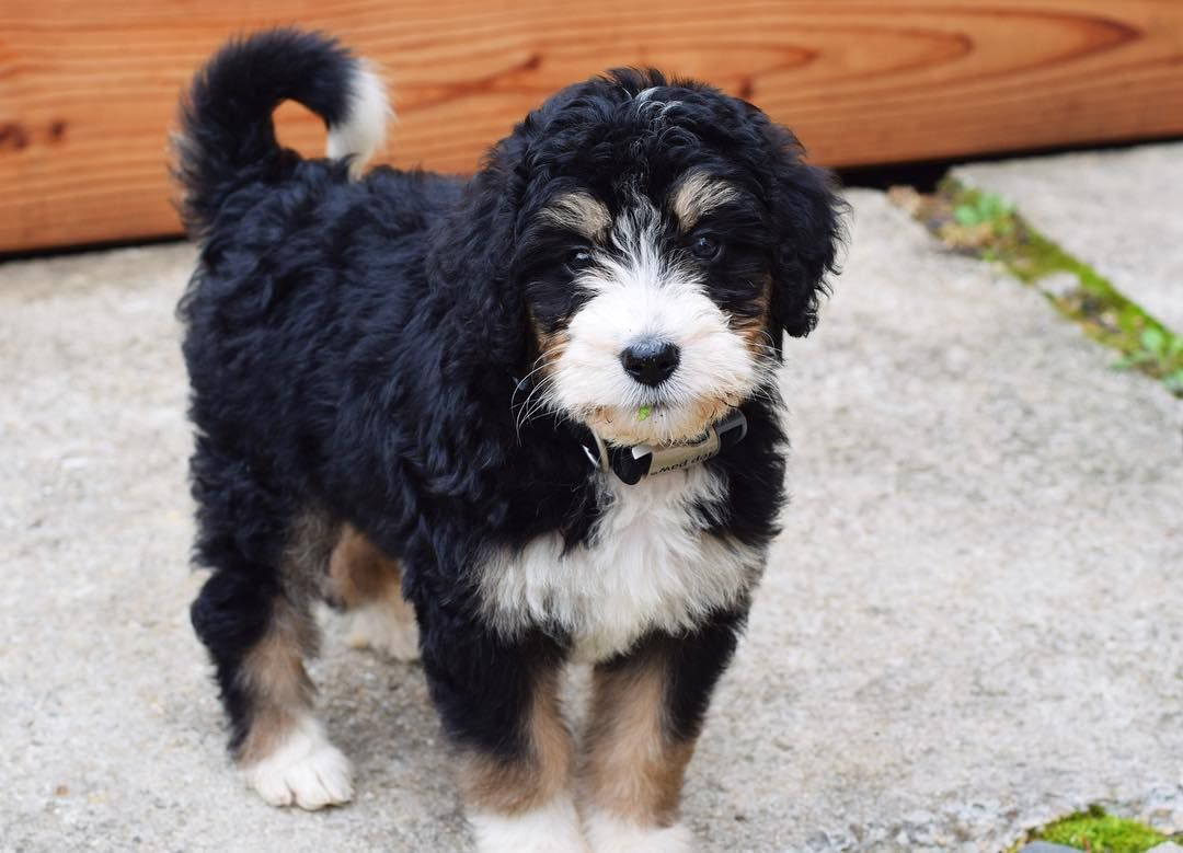 Tri Color Bernedoodle Puppy Half Bernese Mountain Dog Half