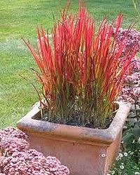 imperata cylindrica 39 red baron 39 herbe sanglante roseau flamboyant jardin pinterest. Black Bedroom Furniture Sets. Home Design Ideas