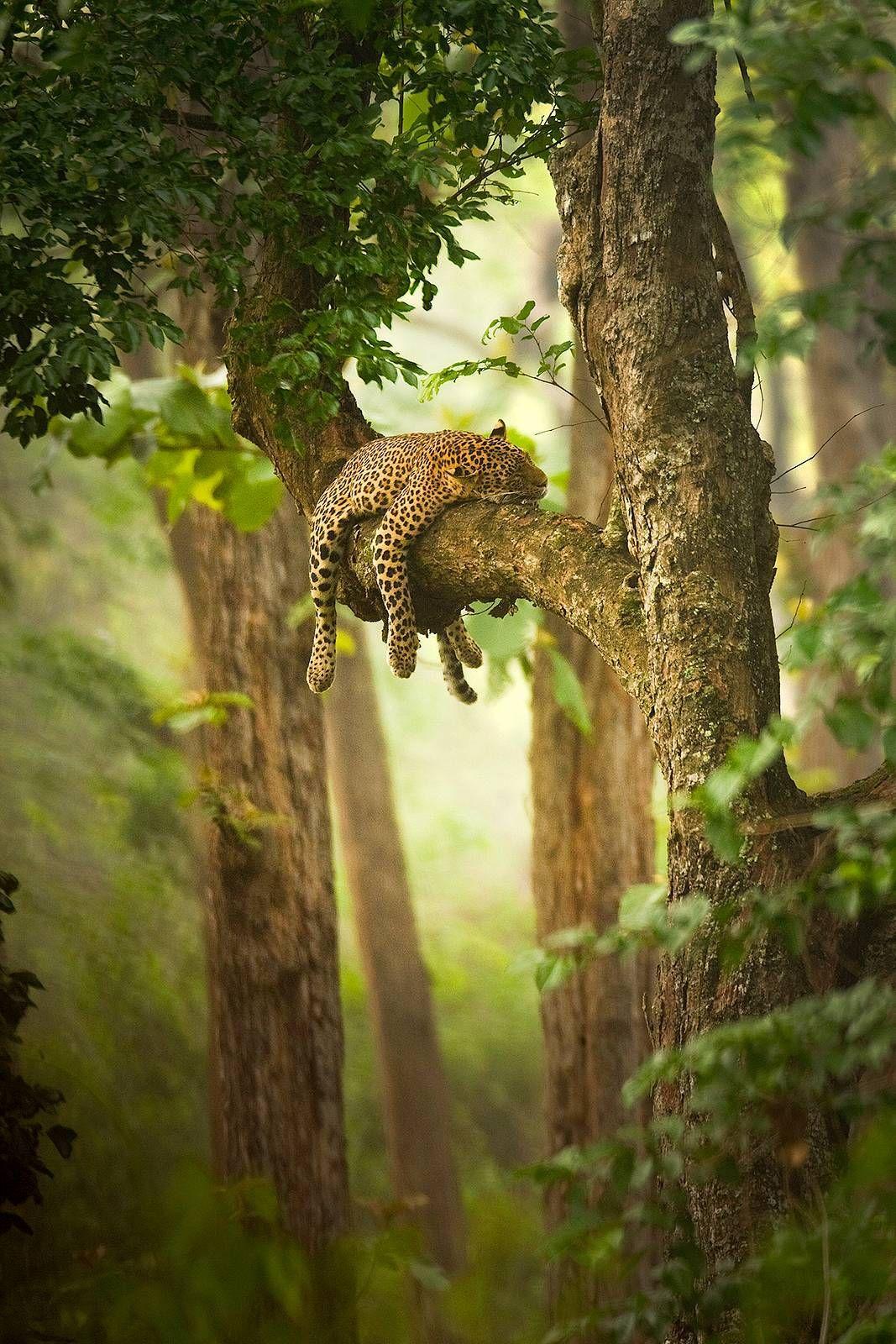Desvre Animalkingdom Desvre Animals Leopard Sleepy Wildlife Photography Animals Beautiful Animals Wild