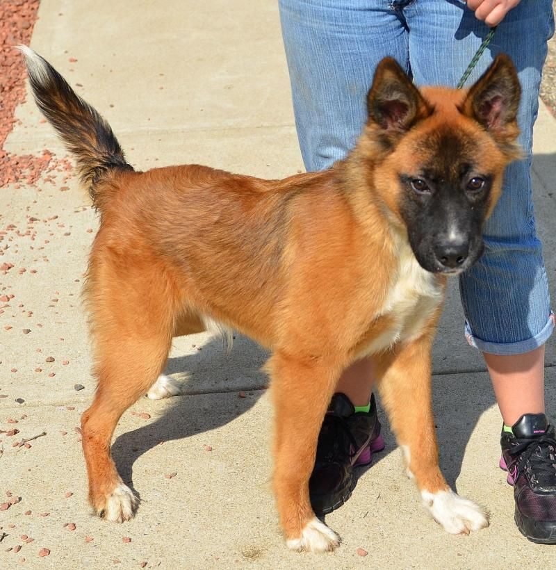 Shepherd Belgian Shepherd Tervuren Mix Young Male Large Belgian Shepherd Beautiful Dogs Dogs