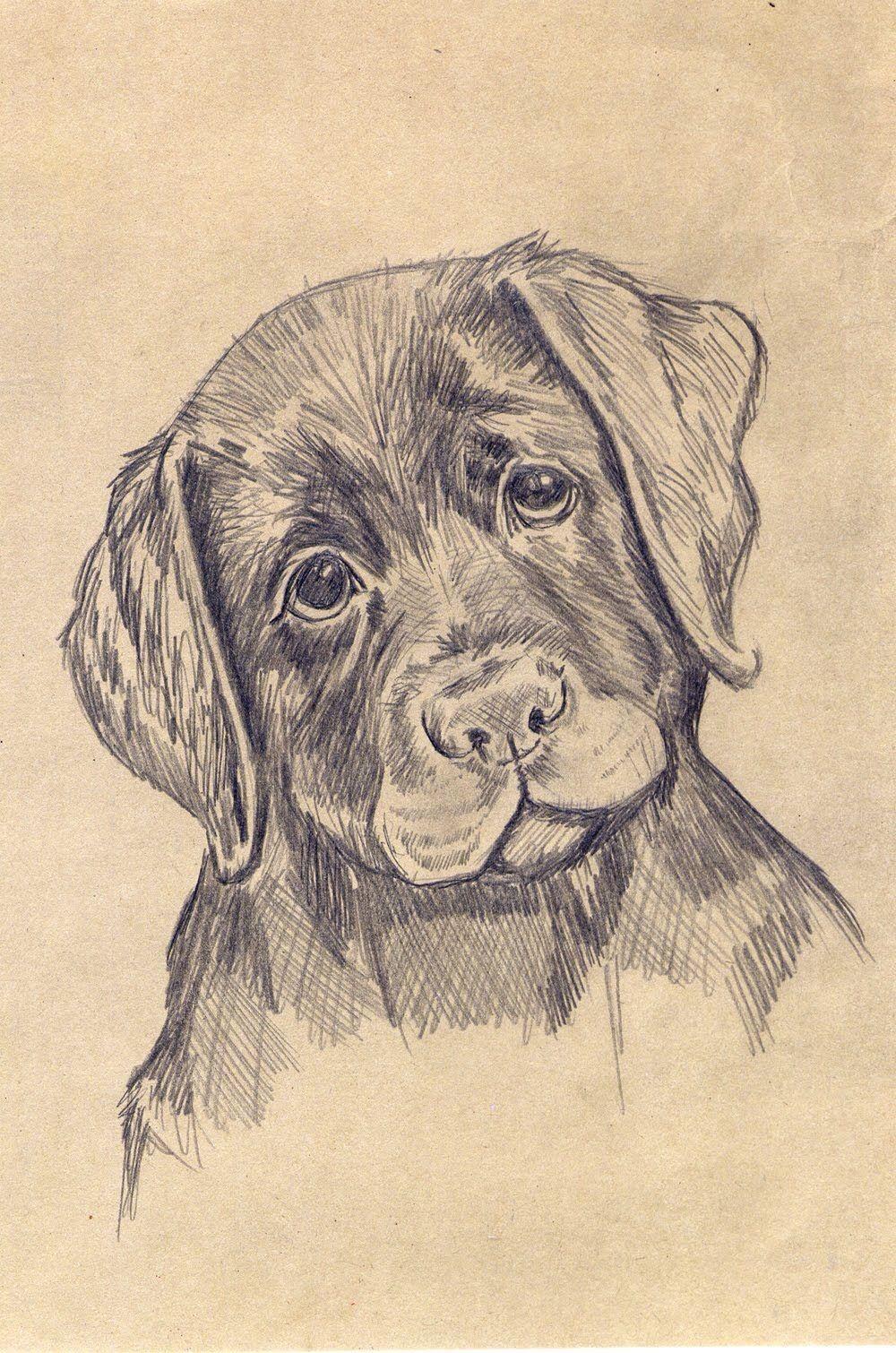 картинки собак лабрадоров карандашом кулак пролез ниже