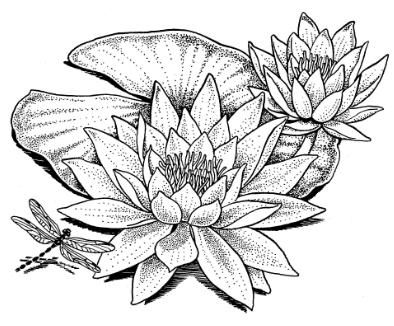 Water Lily Drawing | Wonderous Water Lily | Lillies ...