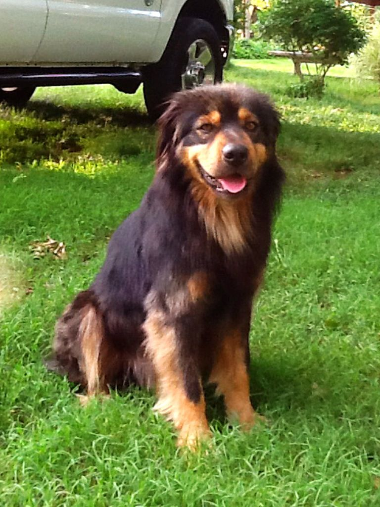 Collie Rottweiler Mix Rottweiler Mix Collie Mix Cute Dogs