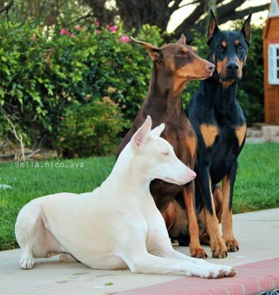 Beautiful White Dobie Dog Breeds Doberman Pinscher Dog