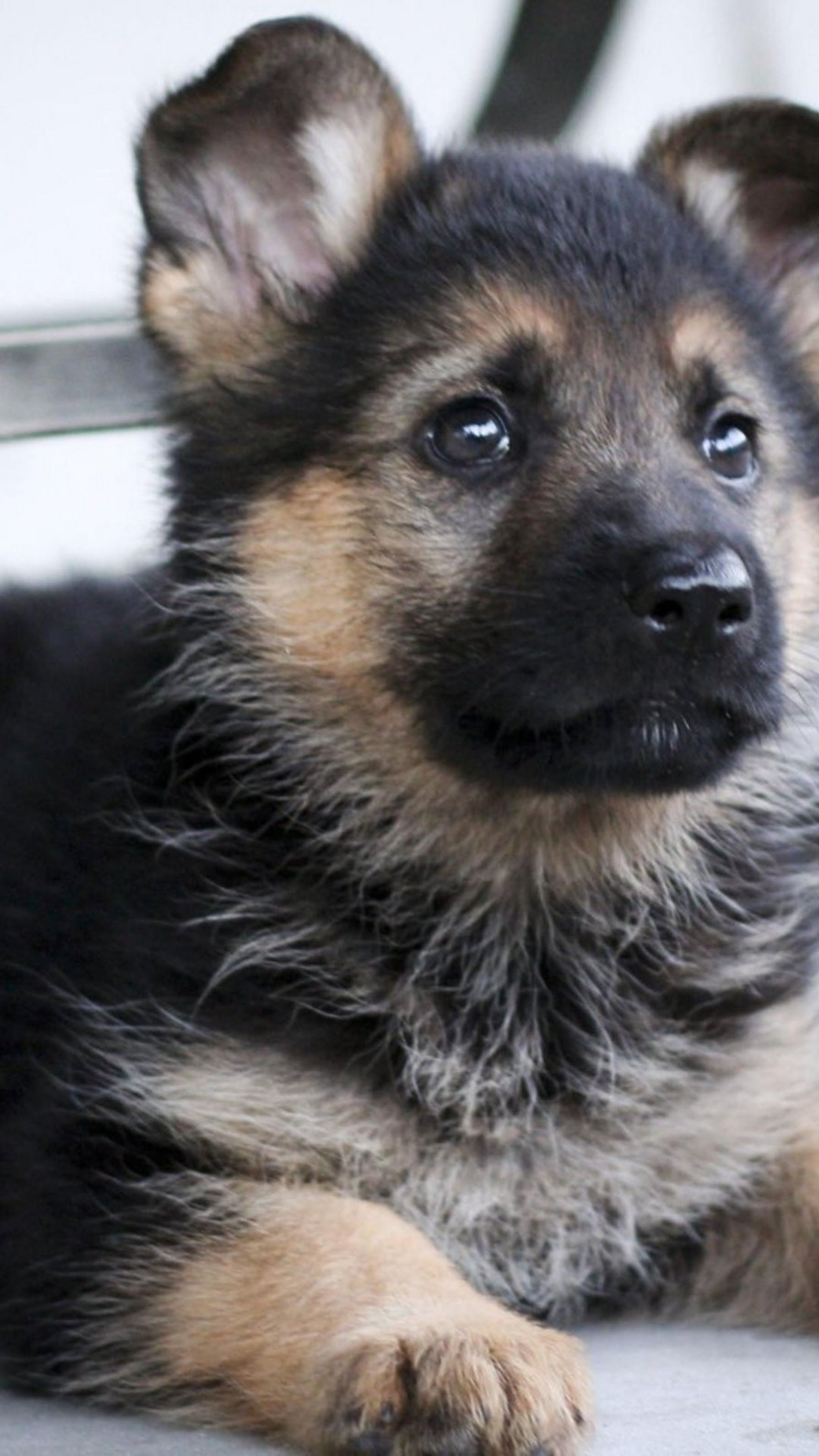Sign In German Shepherd Puppies Shepherd Puppies Cute Dogs And Puppies
