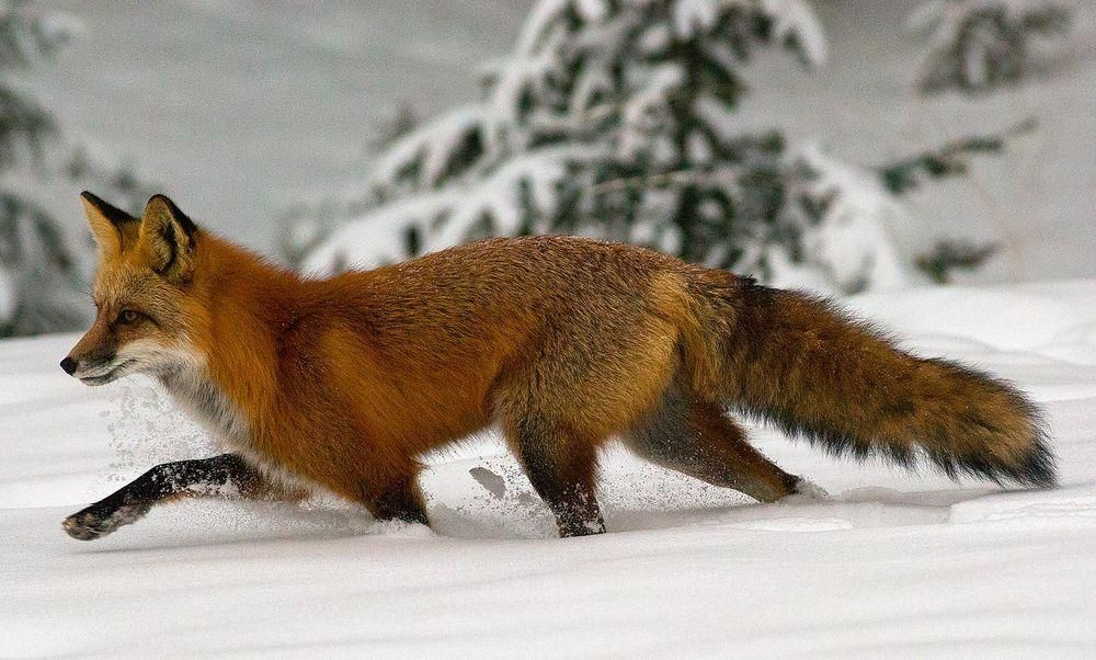 Red fox running through snow photo by tony oswald national red fox running through snow photo by tony oswald national geographic your ccuart Gallery