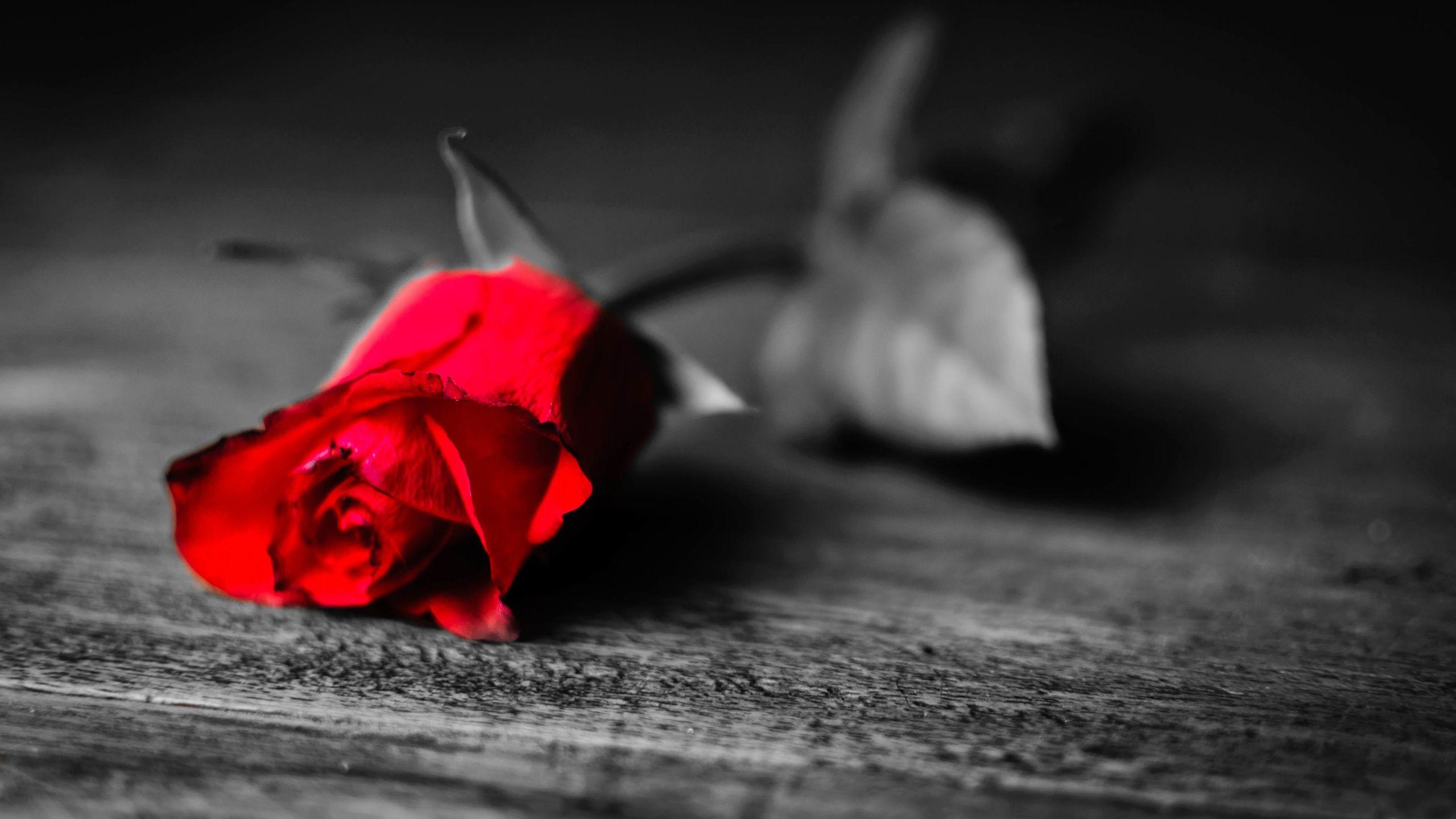 Noir Et Blanc Seulement Rose Fleur Est Rouge Fonds Décran