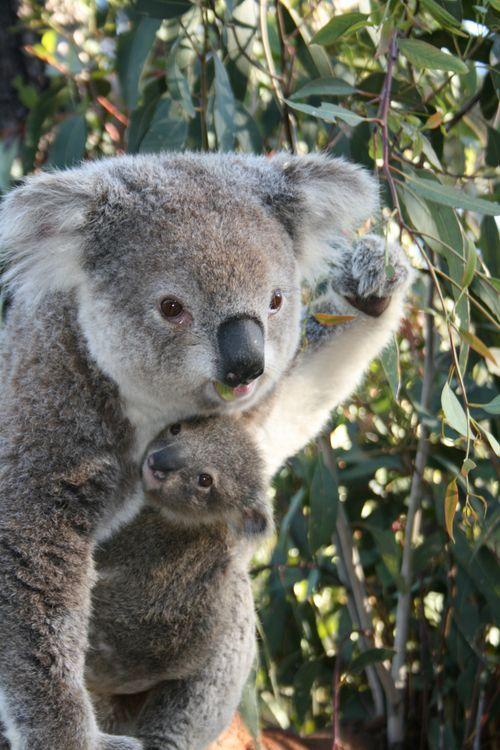 Rock on Koala.