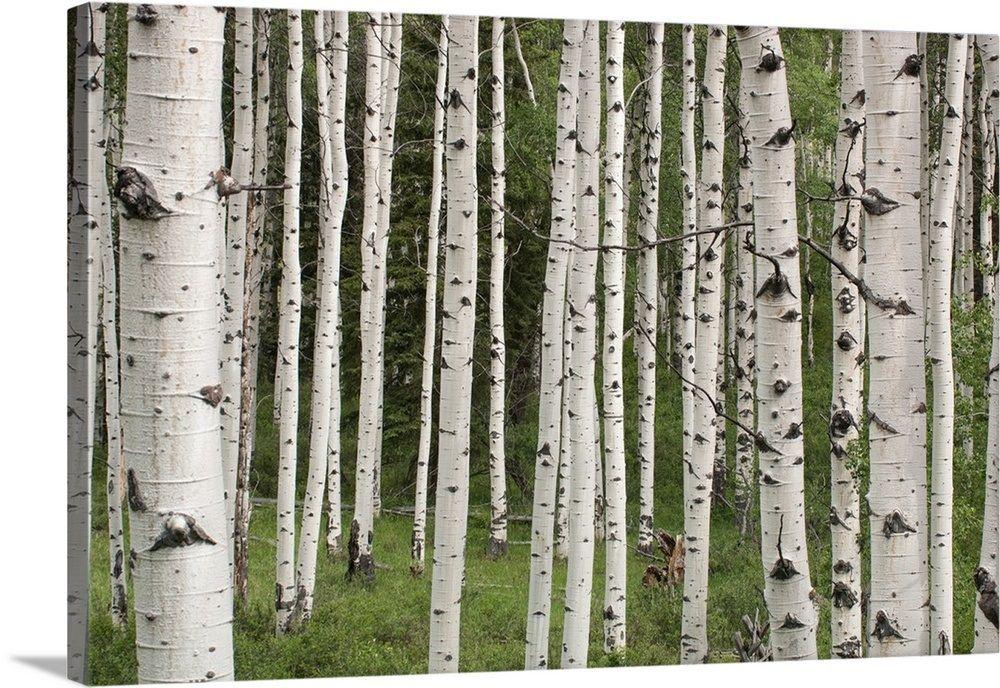 Quaking aspen tree trunks in a woodland Aspen trees