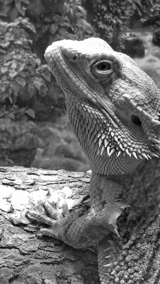 Hunter the bearded dragon - shedding