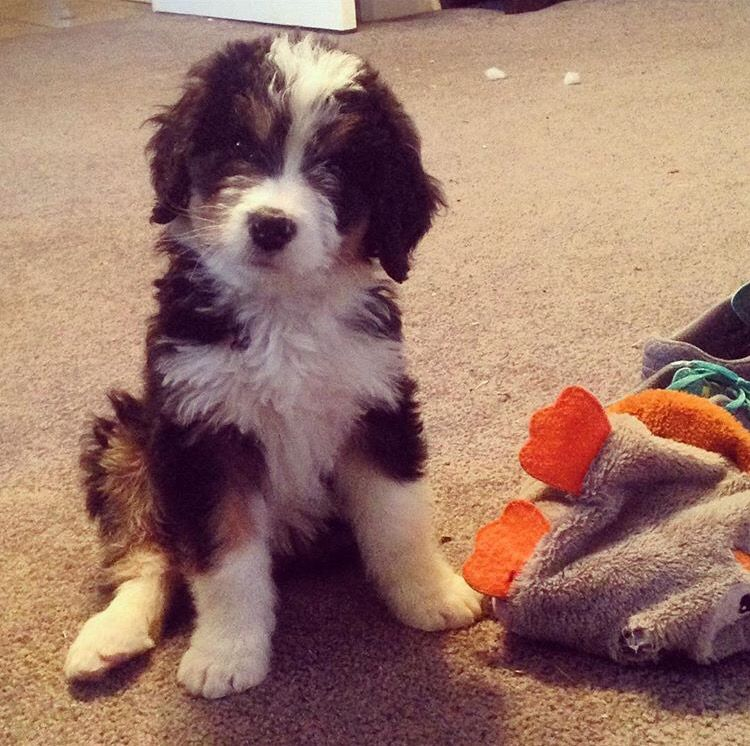 Bernedoodle! Bernese Mountain Dogs x Poodles. All the cute