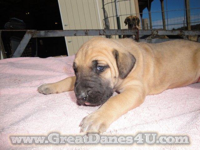 Pin By Www Greatdanes4u Com On Great Dane Akc Puppies Great Dane
