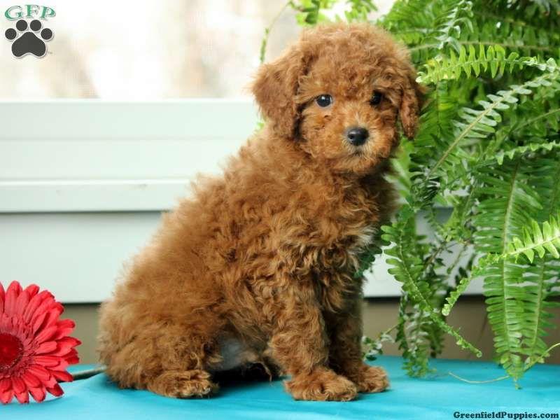 Evan cockapoo puppy for sale in millersburg pa