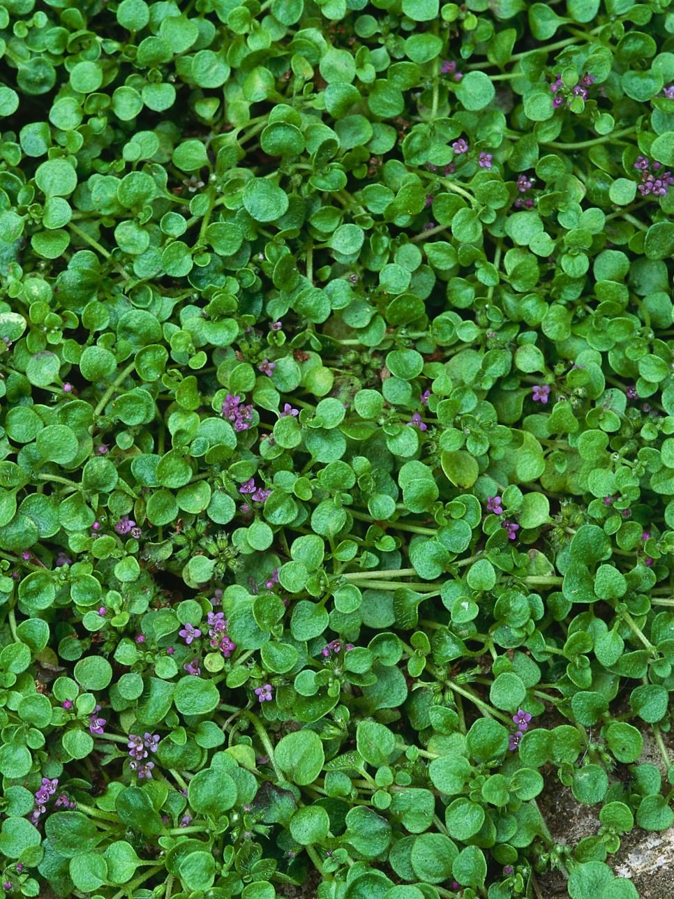 Plant Guide Herbs He Pr With Images Ground Cover Plants Sun Plants Plants