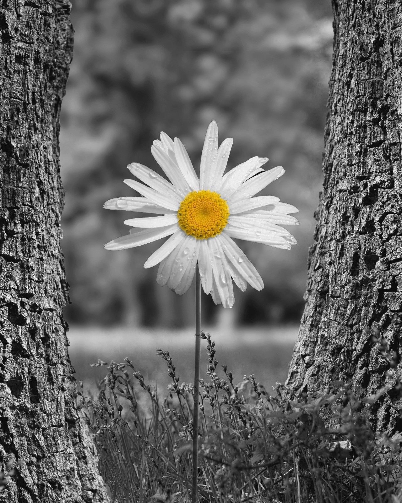 Black White Yellow Photography Artwork, Daisy Flower Decor