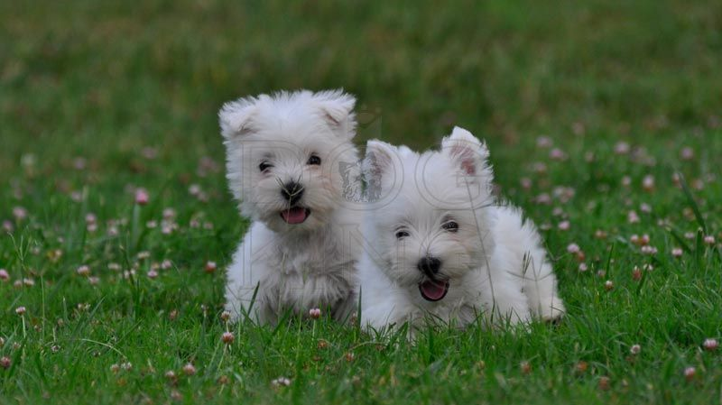 Westie Shih Tzu Rescue West Highland White Terrier Westie
