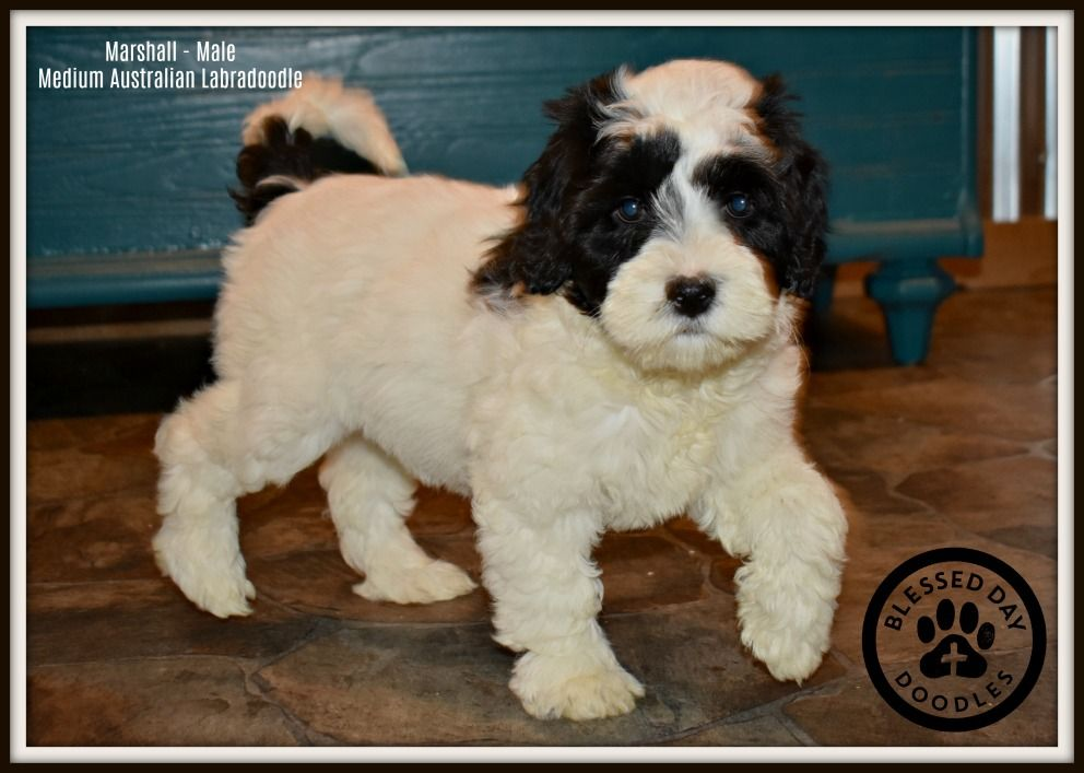 Marshall A Medium Black And White Parti Australian Labradoodle