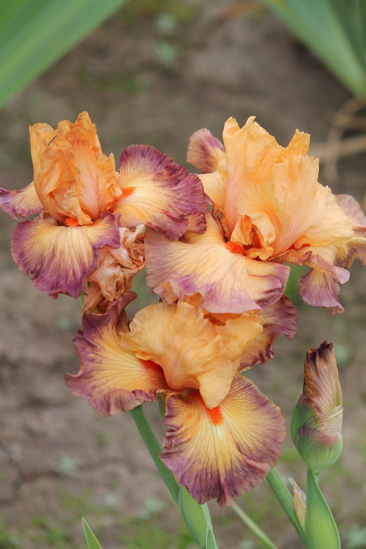 Tall Bearded Iris Victory Chant Iryski Pinterest Iris