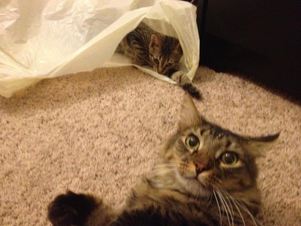 Battlecat wants a bag too... | Baby cats, Cats, Animals