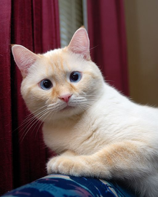 Flame Point Siamese Cat Pretty Cats Siamese Cats Beautiful Cats