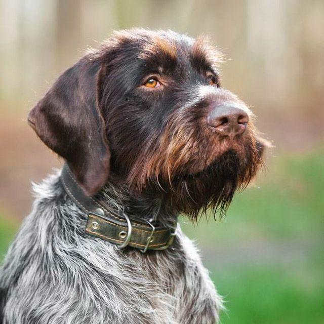 порода собаки дратхаар фото