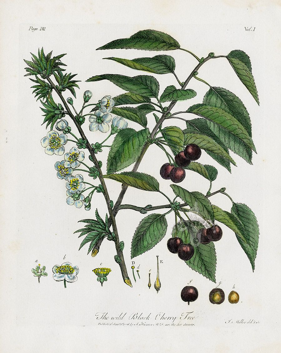 The Wild Black Cherry Tree From John Evelyn Sylva Discourse Of Forest Trees 1786 Oak Tree Drawings Black Cherry Tree Cherry Tree Tattoos