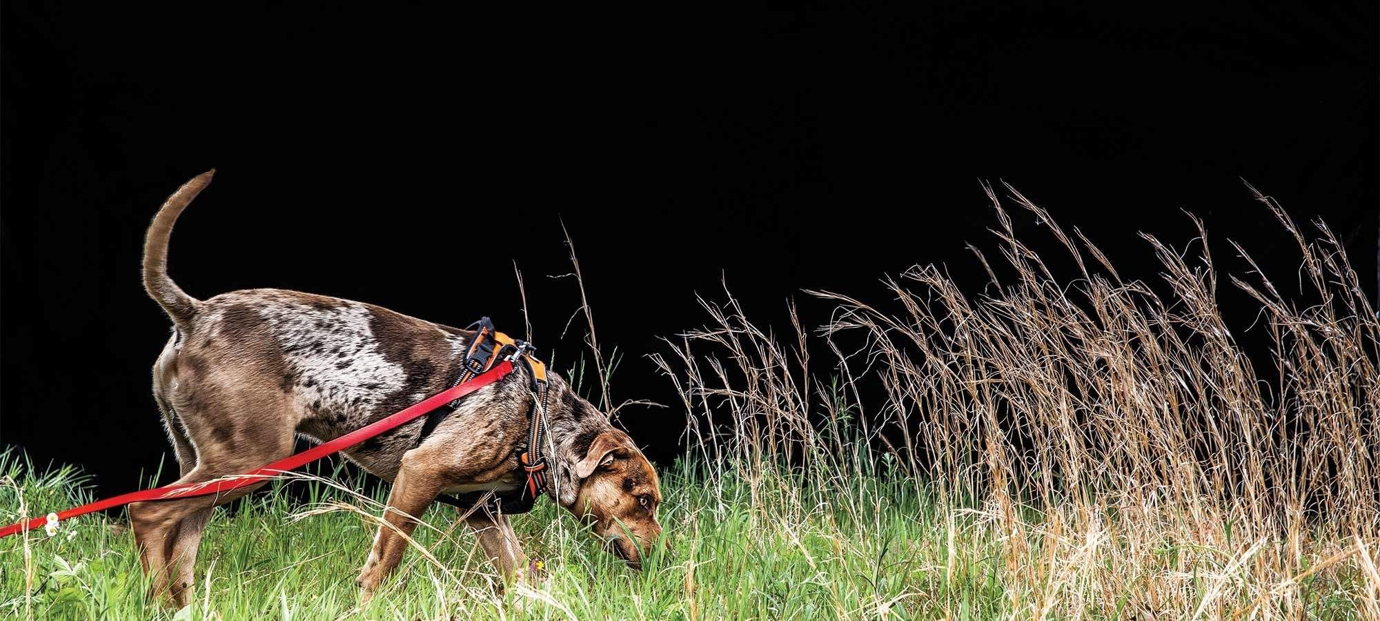 How To Train A Blood Tracking Dog Field Stream Tracking Dogs