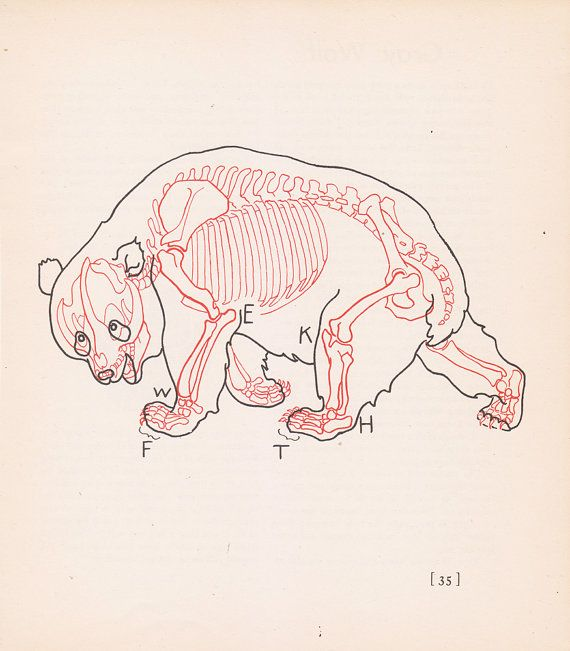 Vintage Giant Panda Anatomy Print Skeleton Illustration Book Plate