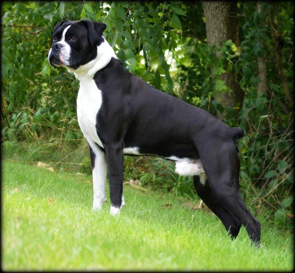 Repin Image White Boxer Puppies Funny On Pinterest Brindle Boxer Boxer Puppies White Boxer Dogs