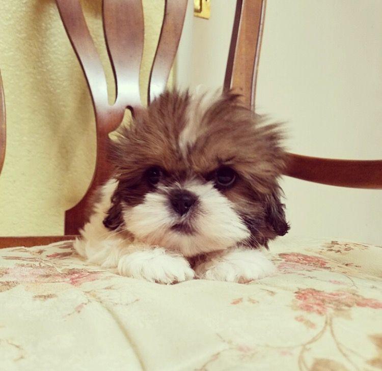Shih Tzu Puppy For Sale In Los Angeles Ca Adn 30508 On Puppyfinder