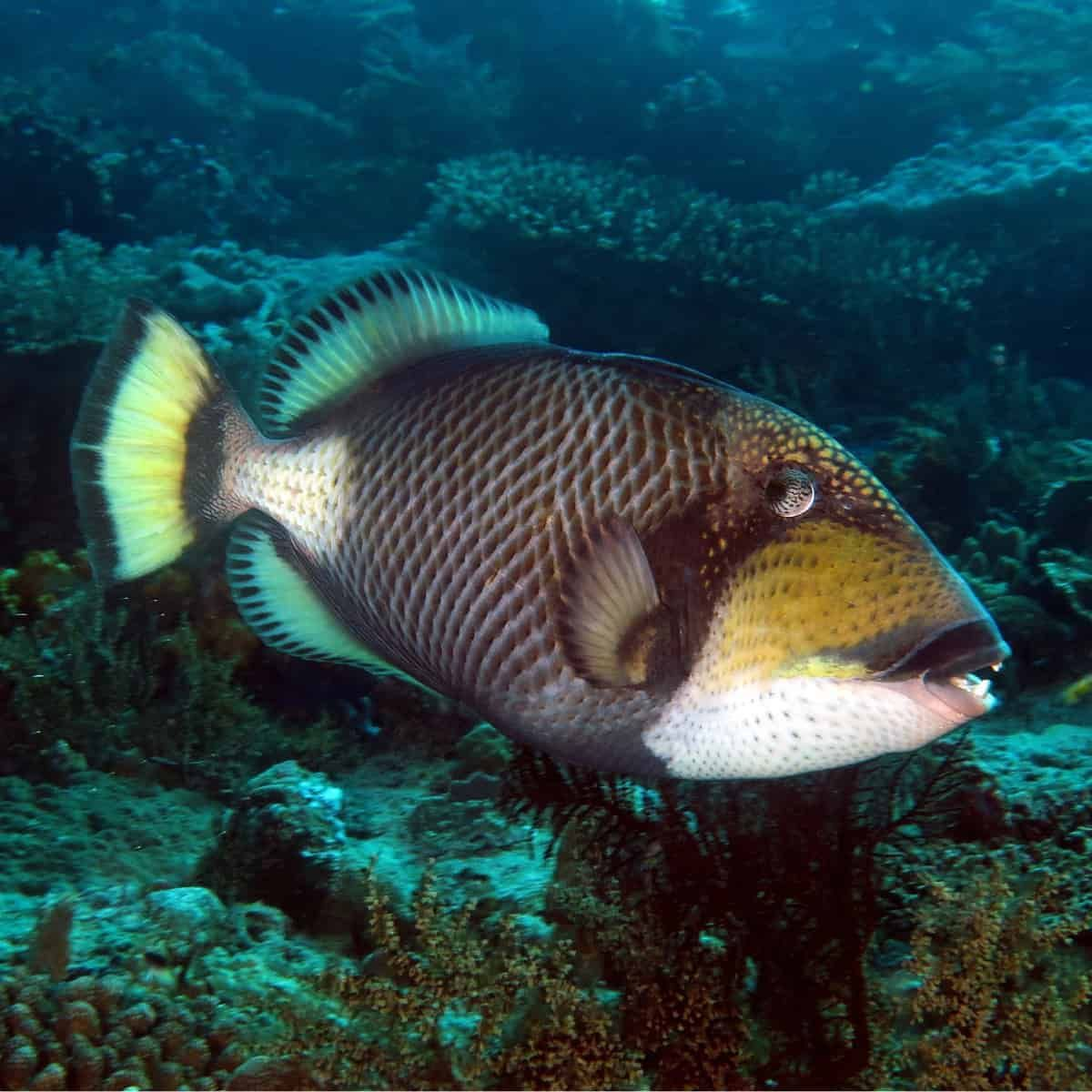 189 99 Titan Triggerfish Balistoides Viridescens Care Minimum
