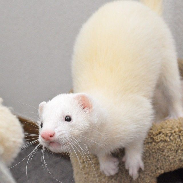 makin5:じーっ #ferrets #ferret #ferretgram #pet #petstagram #instaferret #フェレット #いたちぶくろ #animals