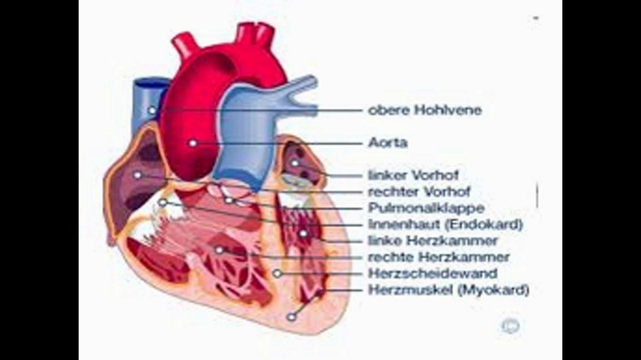 herz aufbau Das Herz liegtherz aufbau als etwa faustgroßes Organ ...