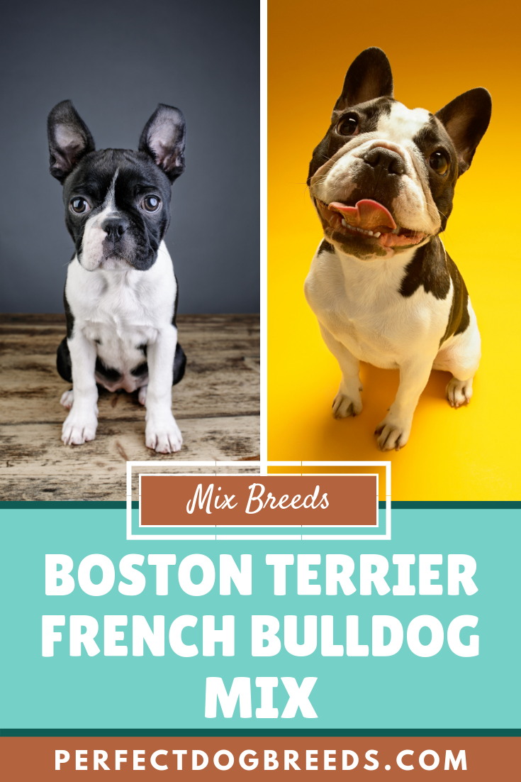 The Boston Terrier French Bulldog Mix Aka The Frenchton Is A People Oriented And Sociable Little Dog Who Is Always French Bulldog Bulldog French Bulldog Mix