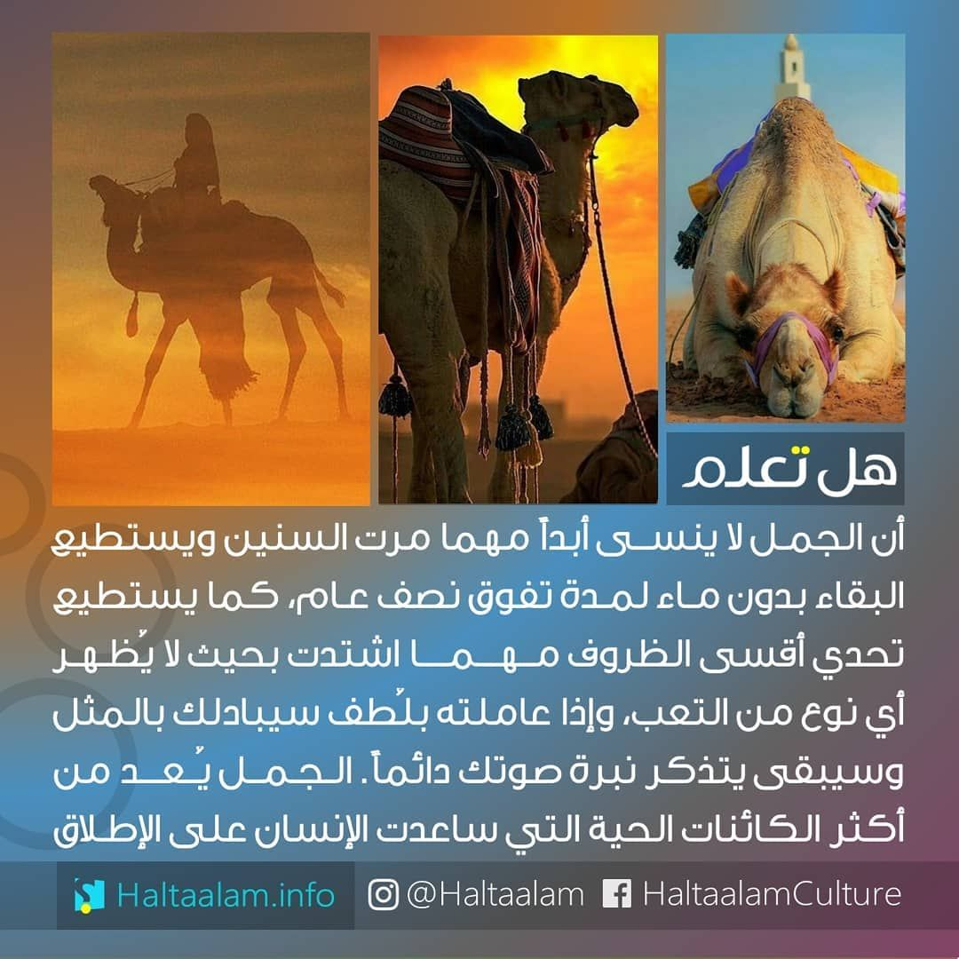 40 4k Likes 255 Comments هل تعلم Haltaalam On Instagram الجمل لا ينسى مهما مرت السنين ويستطيع Beautiful Arabic Words Wisdom Quotes Life Arabic Funny