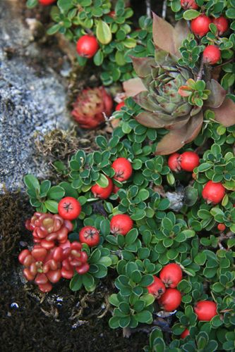 Cotoneaster procumbens 39 queen of carpets 39 for along the - Cotoneaster procumbens queen of carpets ...