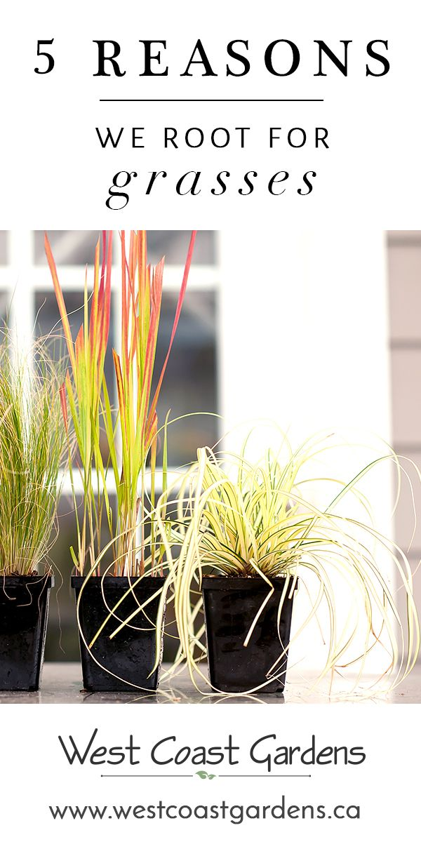 5 Reasons We Root for Grasses is part of garden Tips Grass - We'd like to turn your attention to a less flashy garden dweller who will stick around for the winter months   grasses for your garden!