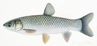 Ampuh Braskap Grass Carp Rahasia Umpan Resep Umpan Tip Memancing Ikan Grass Carp Umpan Ikan Carp Umpan Jitu Mancing Ikan Grass Carp Ikan