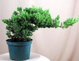 "9GreenBoxs: Juniper Japanese Juniper Bonsai Starter Tree - 4"" pot - Juniperus procumbens 'Nana' - http://handygrocery.org/grocery-gourmet-food/fresh-flowers-live-indoor-plants/live-indoor-plants/9greenboxs-juniper-japanese-juniper-bonsai-starter-tree-4-pot-juniperus-procumbens-39nana39-ca/"