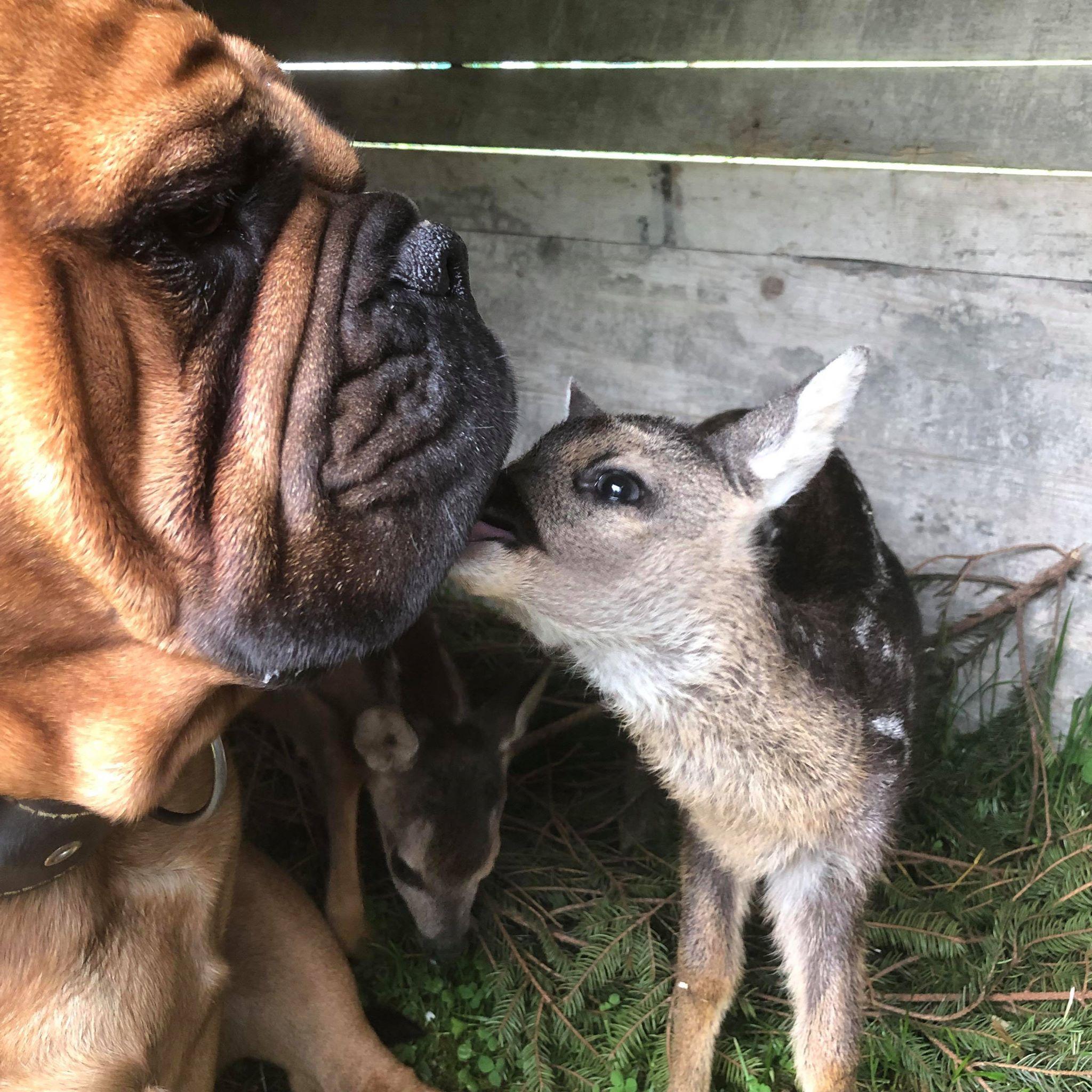 Ap William As A Mother For 2 Bambis Continental Bulldog Bulldogge Welpen
