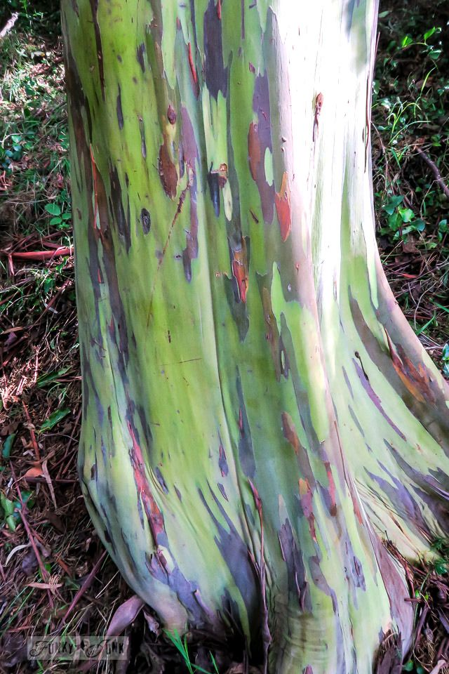 The Infamous, Towering Rainbow Eucalyptus Trees At Kula Botanical Garden,  In Maui, Hawaii