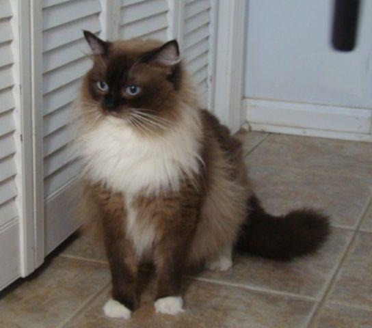 Ragdoll Kitten Cat Breeders We Love Ragdolls Ragdoll Cat Pretty Cats Cats And Kittens