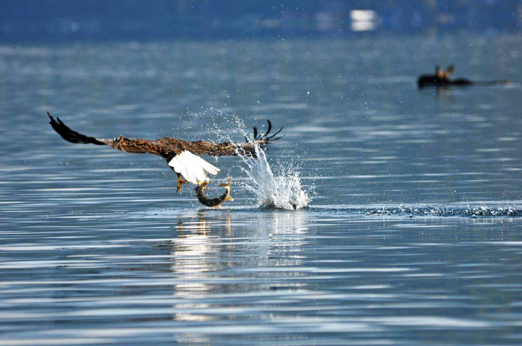Eagle • Fish • Moose Only at Priest Lake